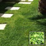 Rocalba Kertimag Dichondra-Zöld szőnyeg Vetőmag 250 g