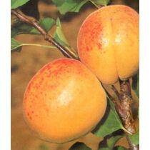 Gönci magyar kajszibarack kajszibarack gyümölcsfa, szabadgyökeres