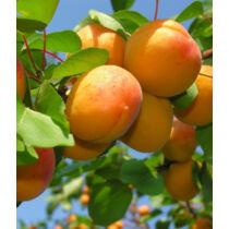 Ceglédi óriás kajszibarack gyümölcsfa, szabadgyökeres