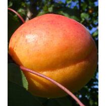 Ceglédi Piroska kajszibarack gyümölcsfa, szabadgyökeres