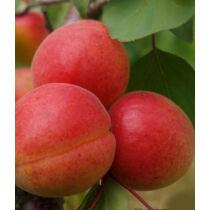 Harcot kajszibarack gyümölcsfa, szabadgyökeres