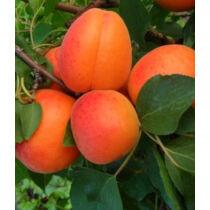 Magyar kajszi C235 kajszibarack gyümölcsfa, szabadgyökeres