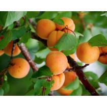Ceglédi arany kajszibarack gyümölcsfa, szabadgyökeres